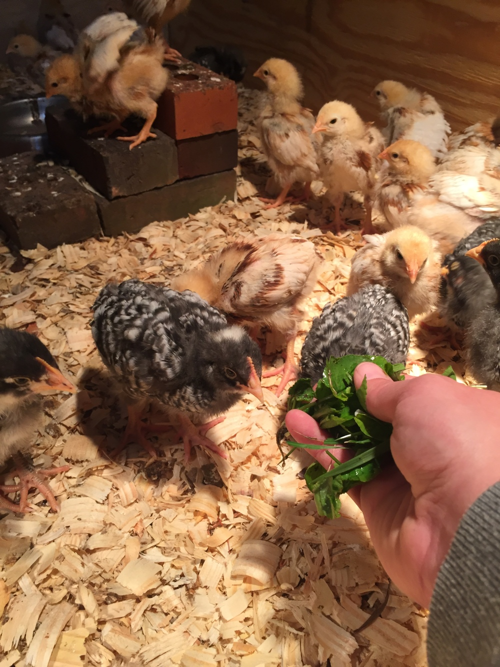 Feeding the Chicks by Hand
