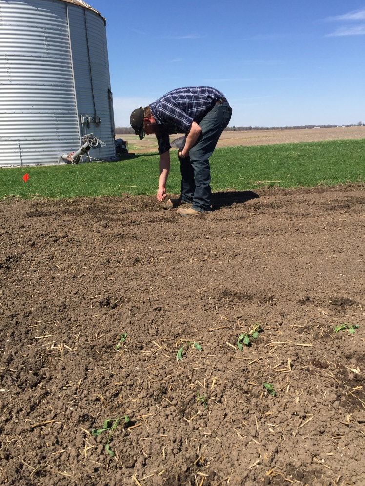 Planting the Indian Corn