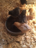 Chicks Having Fun in their New Dustbox!