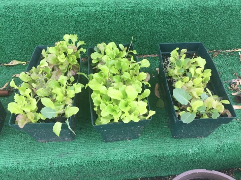 Winter Sown lettuce transplanted into boxes for eating or selling