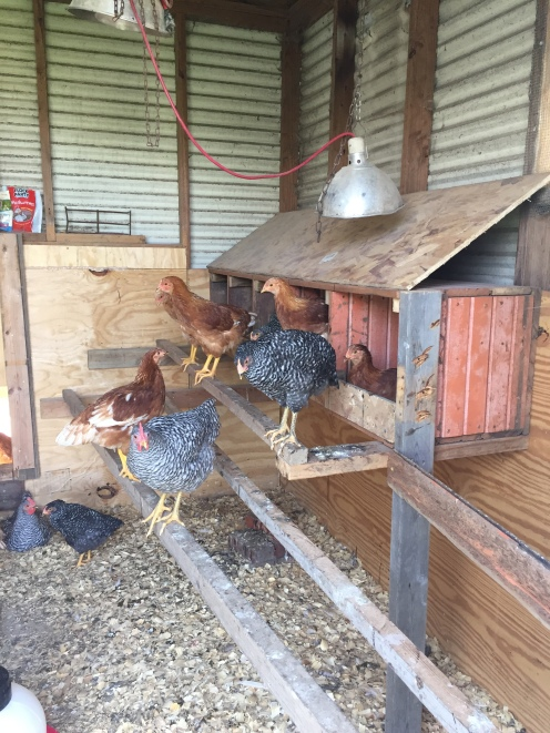 These nesting boxes were built from old hog feeders.
