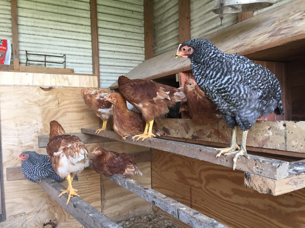 The chickens love their nesting boxes, built from repurposed hog feeders to make it a lower-cost project! Dad designed and built, plus extra roosts!