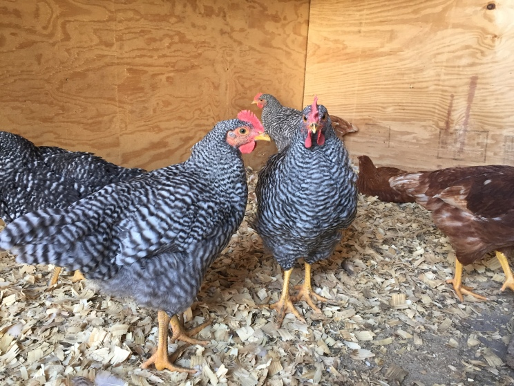 What do we have - hens or roosters!?