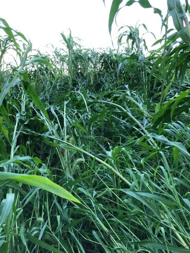 Broom Corn flattened by wind