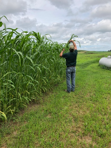 Colton is checking the broom corn to see if he can feel the tassels/brooms and how the stalk is developing. Not too long from now even HE will have to be on his tip-toes to reach the tops!