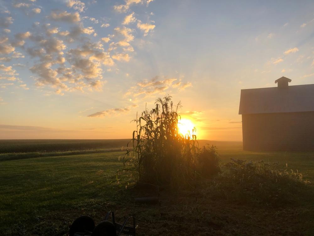 Broom Corn Sunrise