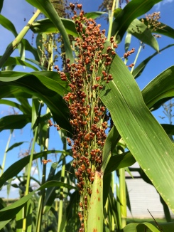 The beautiful colors are coming on the broom corn!