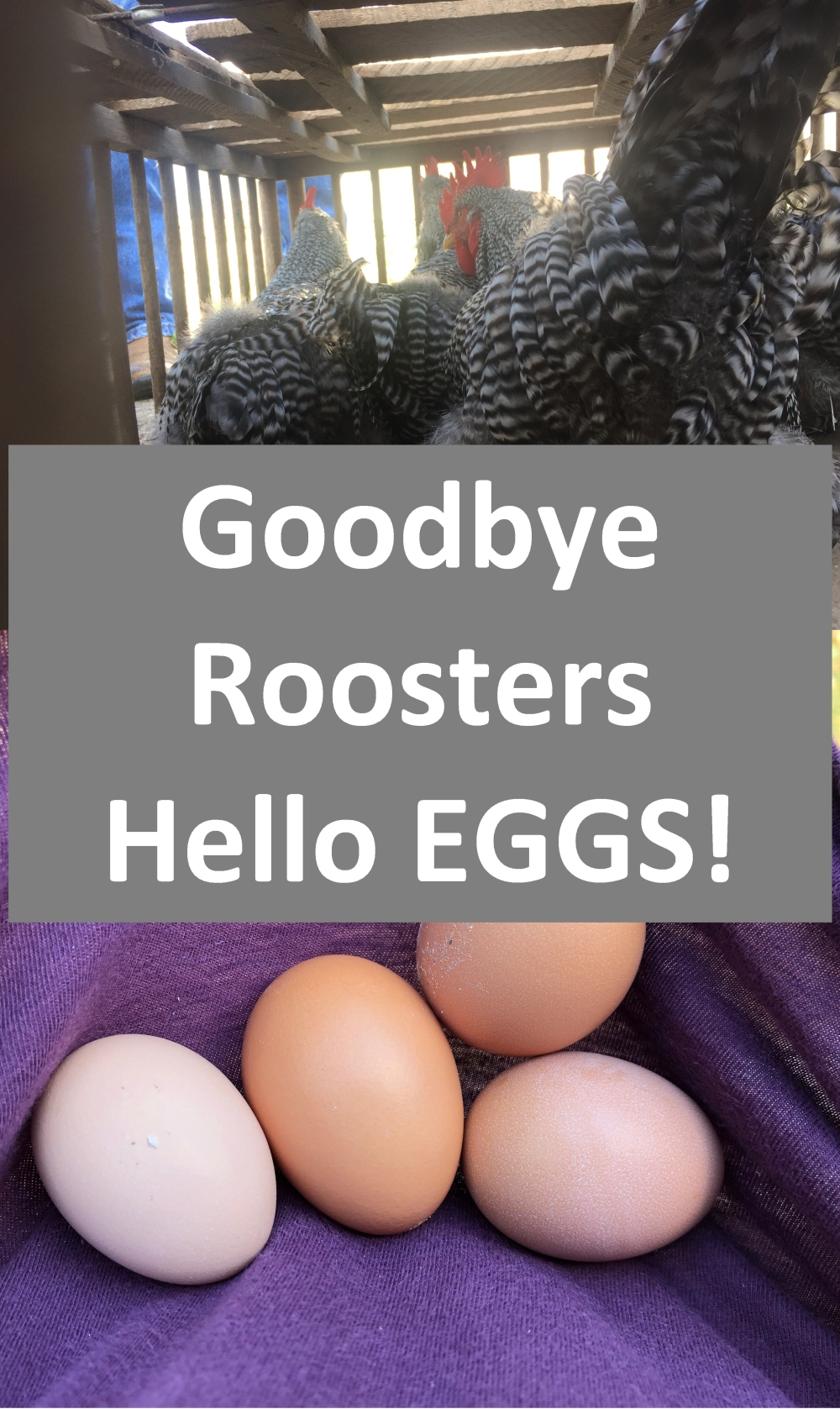Goodbye Roosters Hellow Eggs