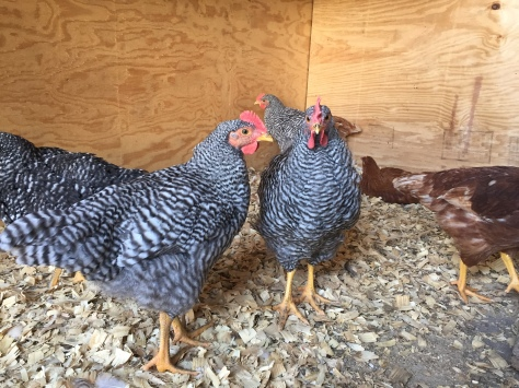 These hens get to stay and produce delicious, brown eggs!