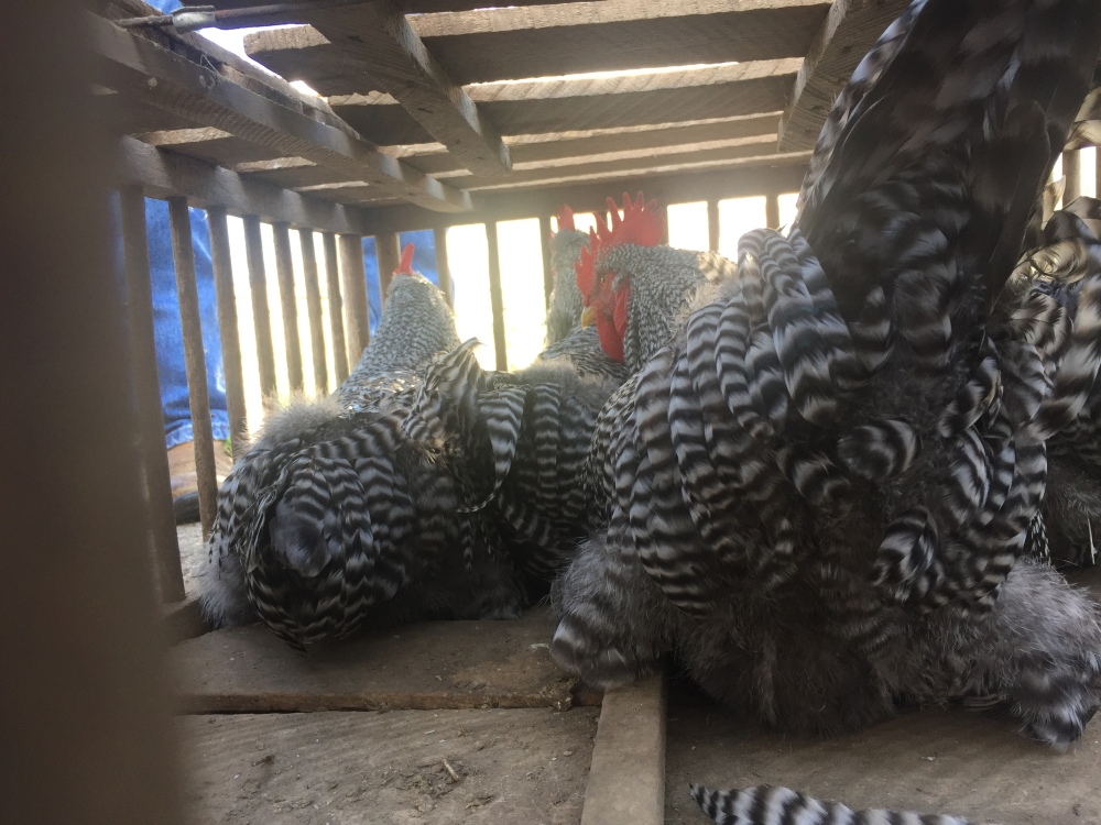 Transporting Barred Rock Roosters