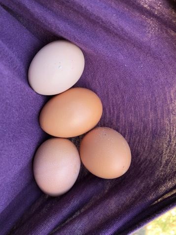 We aren't sure what chickens laid what, but there are two distinct shades of brown. These were found later in the day after the first haul of 11 eggs!