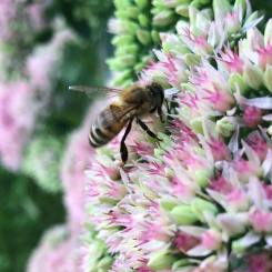 The Neighbor's Honey Bees Pollinating our Flowers