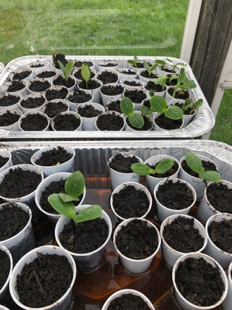 Cheap gardening - starting seeds in 3 and 5 oz cups! These guys sprouted and quickly outgrew their seed starting cup!