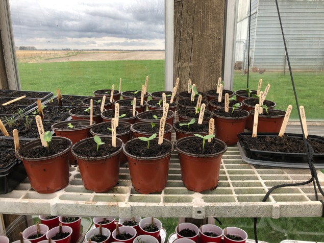 The sunflowers were started in 5 oz cups as well, but they were outgrowing their container and needed an up-pot. Some of these we will keep; others will be for sale.