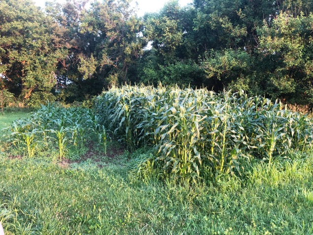 Colton LOVES sweet corn! And because he planted it mid-may we have some already tasseling out! A second crop didn't germinate as well, but was planted later. So we won't have to harvest EVERYTHING at once.