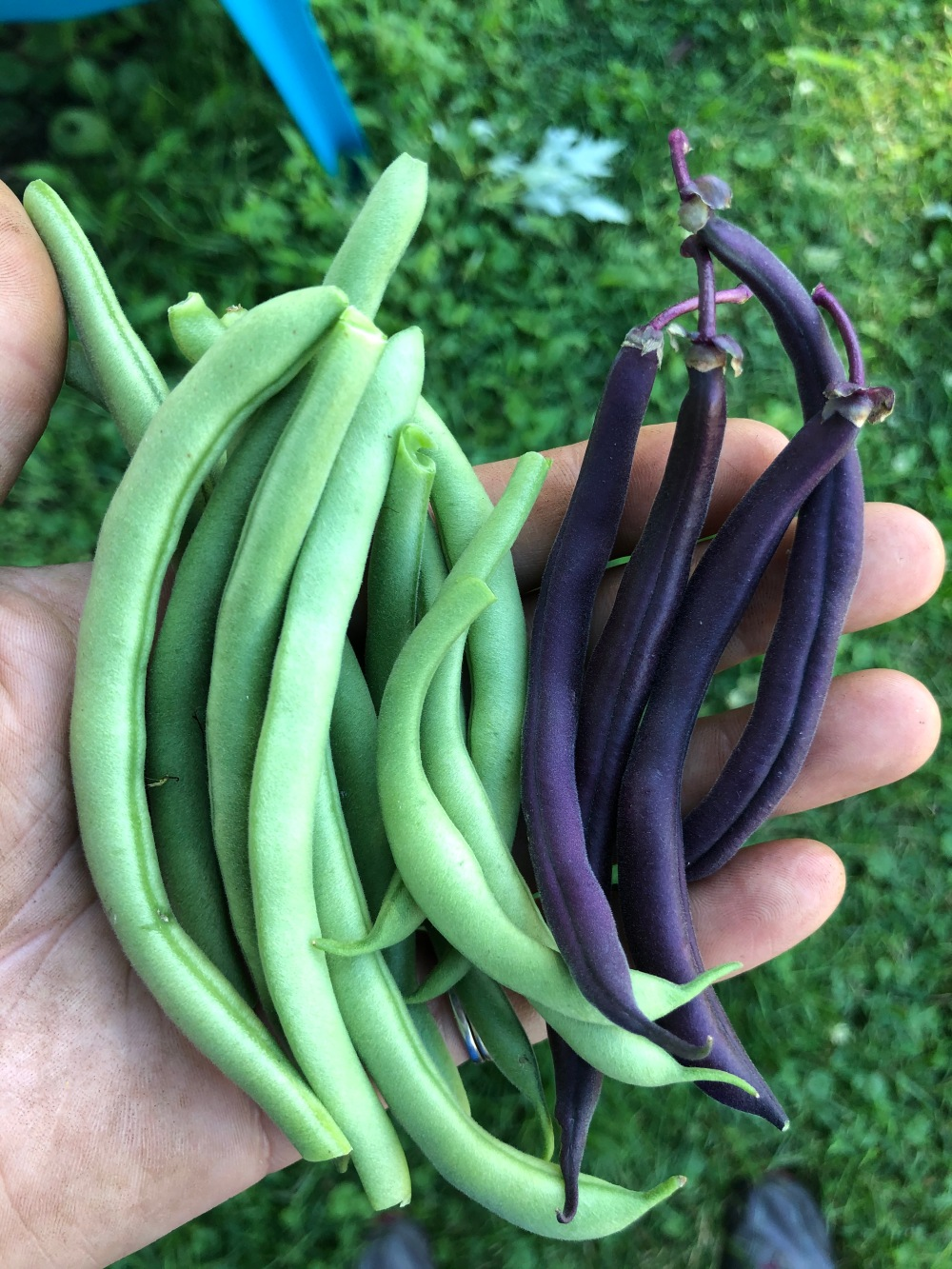 Green and Burgundy Beans