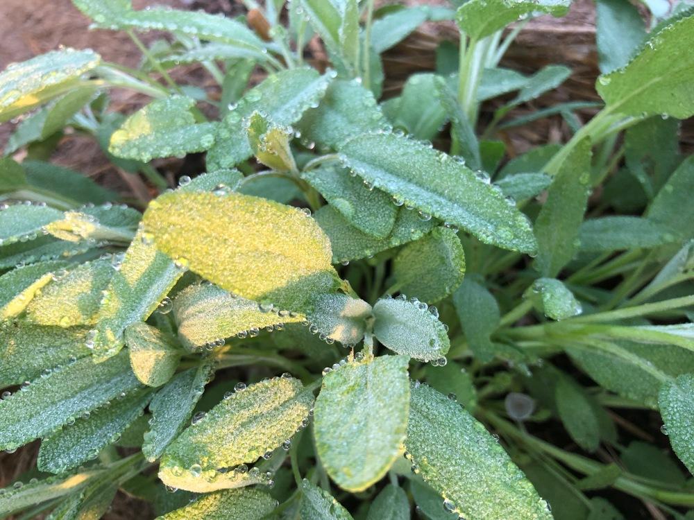 Dew on Sage